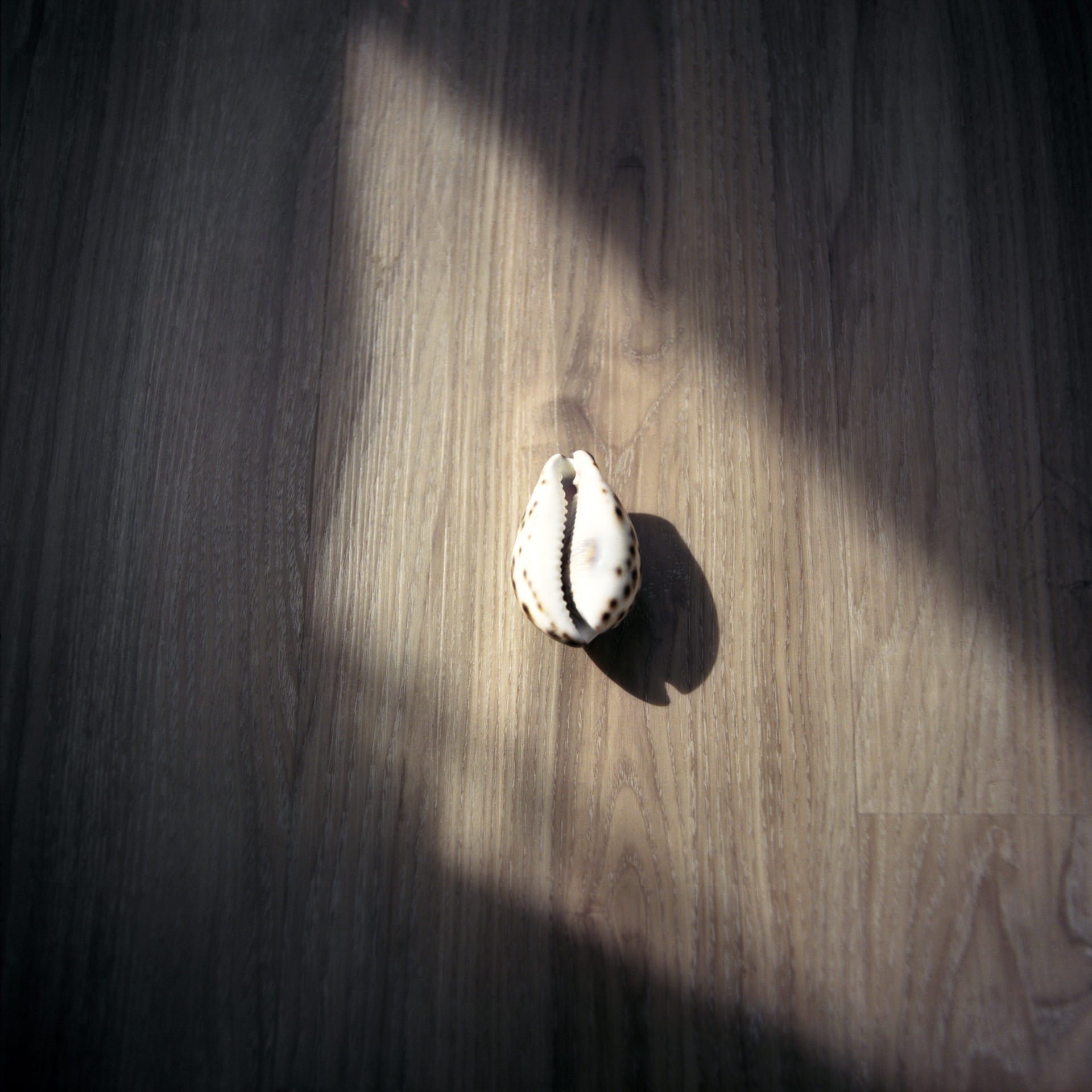 A small white shell on a wooden floor with shadows casting over it