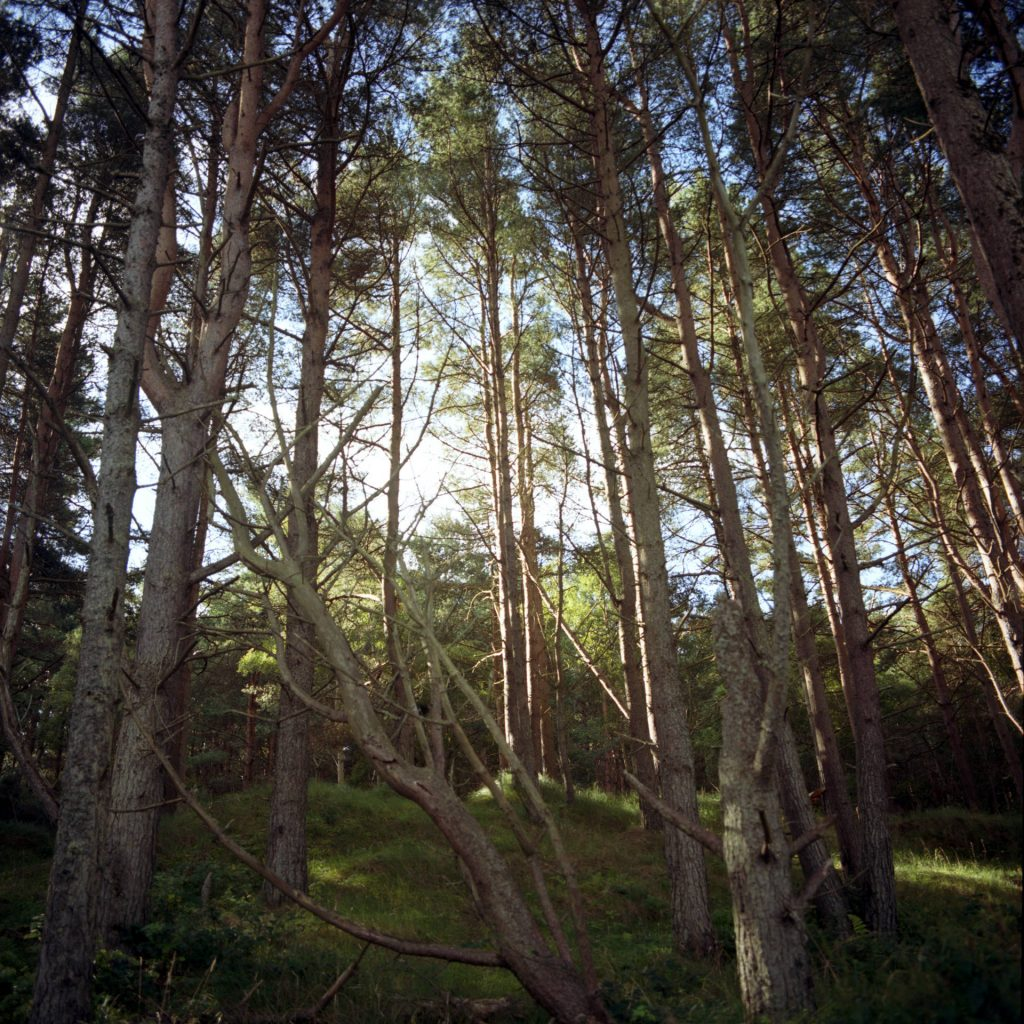 A thick forest of fallen and standing pine trees with sunlight beaming through them